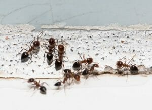 How Do You Get Rid of Carpenter Ants in Your House?