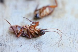 What Attracts American Cockroaches into Your Home