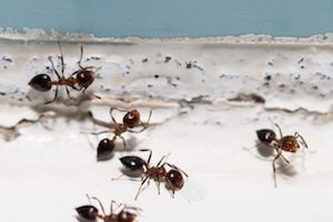 How to Get Rid of Small but Mighty Odorous House Ants for Good