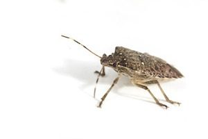 Why Do I Have Stink Bugs in the Winter?