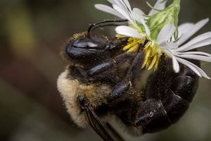 Identifying and Getting Rid of Carpenter Bees