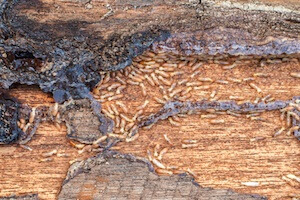 How Warm Does It Need to Be for Termite Swarmers?