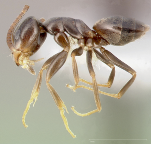 Have Tiny, Unwanted Holiday Guests? They Could Be Odorous House Ants