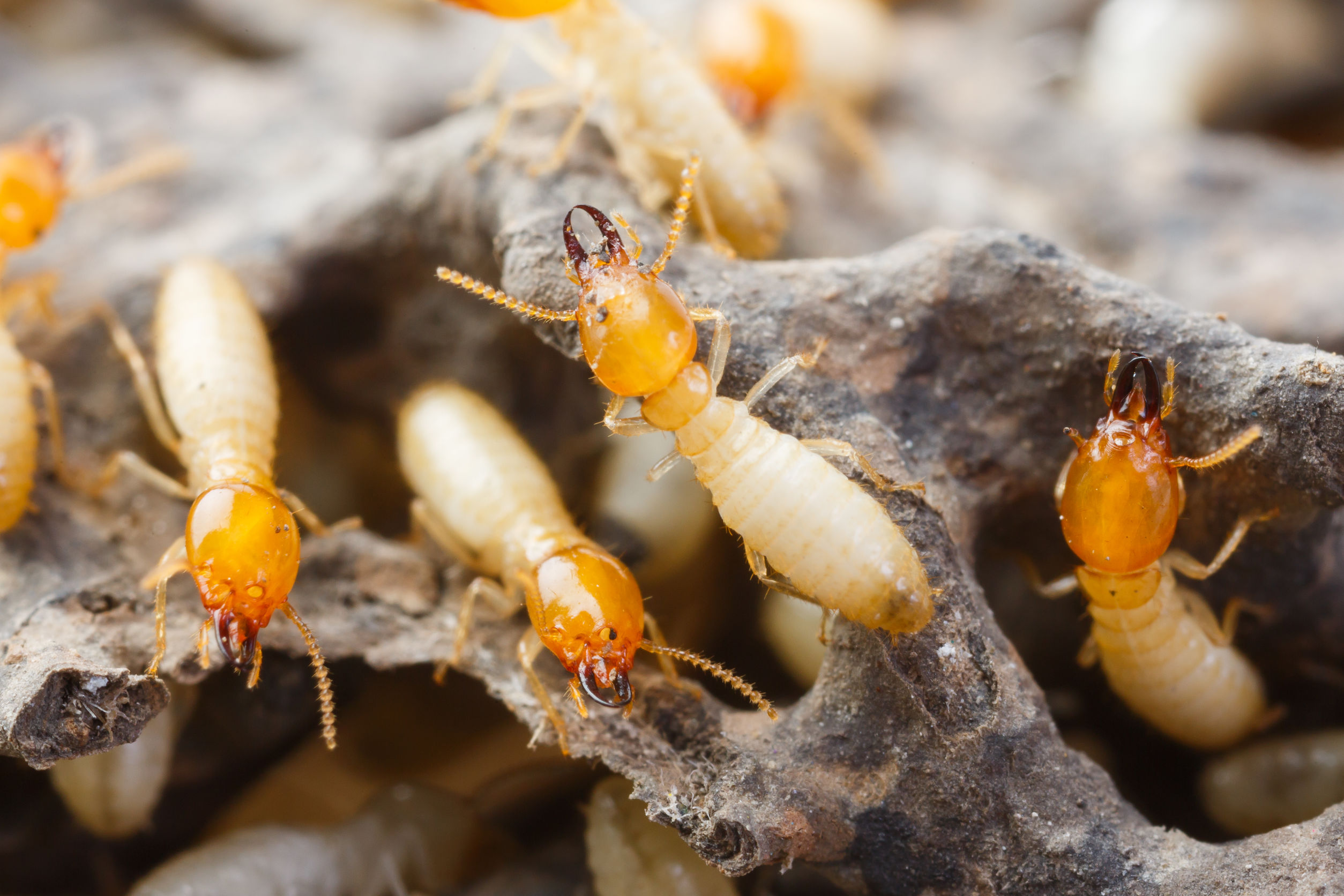 Termite Control – Think Green Pest Control